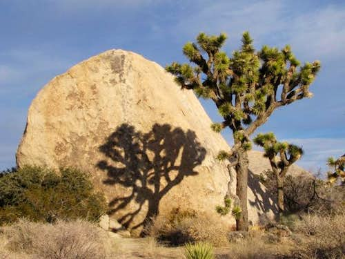 Joshua Tree and its Shadow