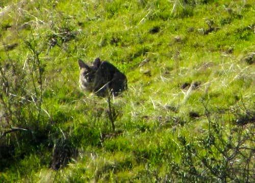 Wild Cats (Felidae)