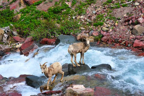 bighorns contemplating Baring Creek