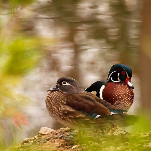 Wood Ducks, a colorful pair