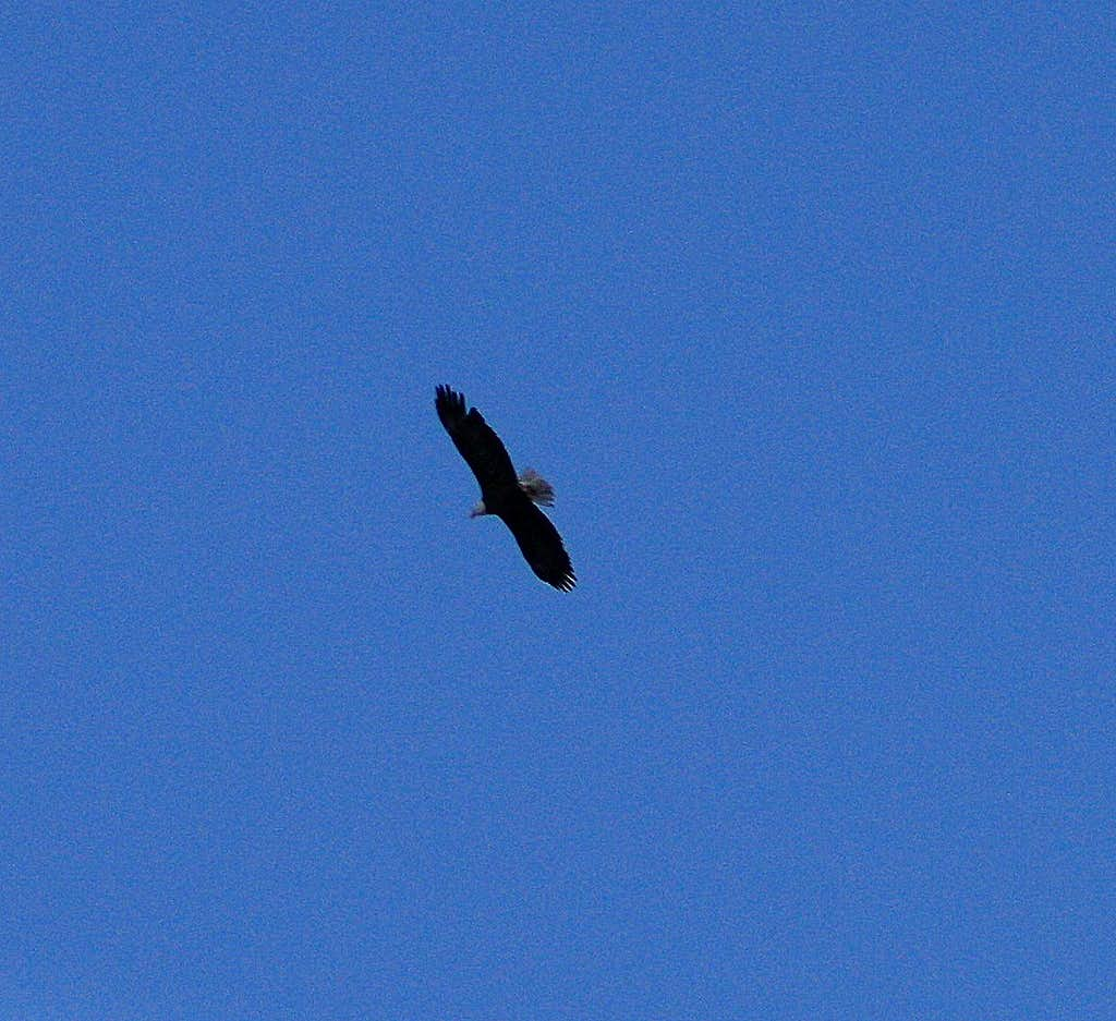 A Bald Eagle flying over Ophir Canyon