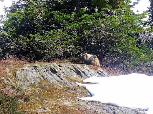 Marmot near our tent