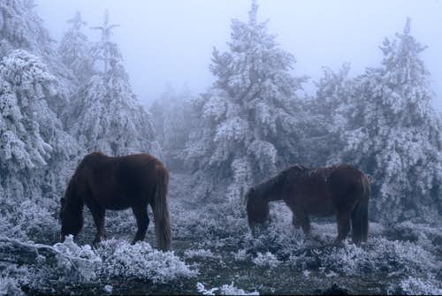Basque horses, mist and ice