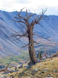 A very cool dead tree you can...