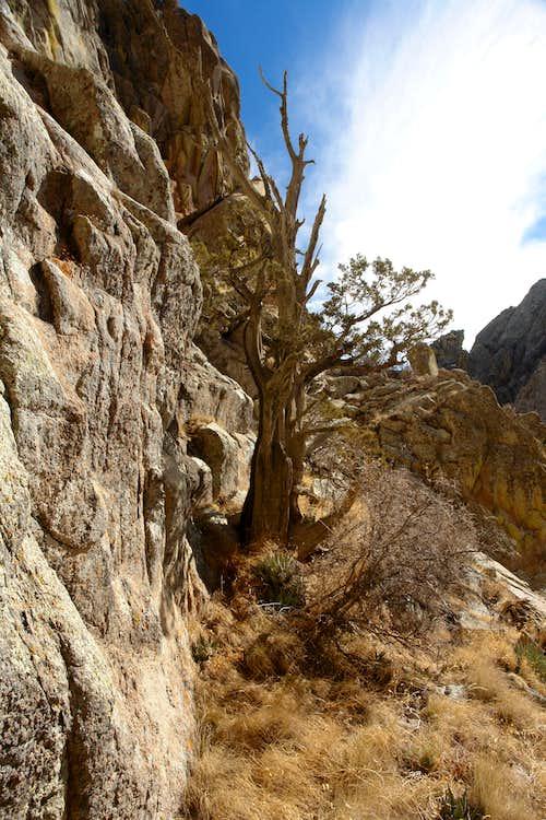 Scramble up a corner behind this juniper