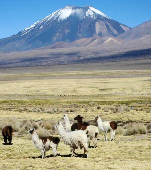 Llamas grazing in front of Parinacota