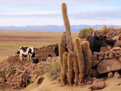 Anacasi Cattle