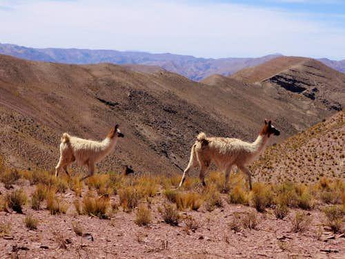 Roaming Llamas