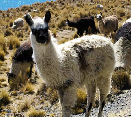 Llamas on the road to base camp