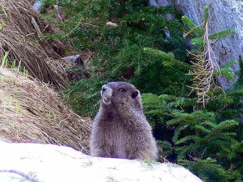 Squeaking Marmot
