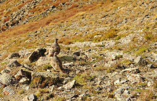 Mountain grouse