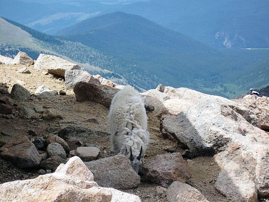 Mt. Evans Mountain Goat