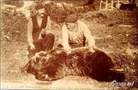 Captured bear in the Bearn, long time ago