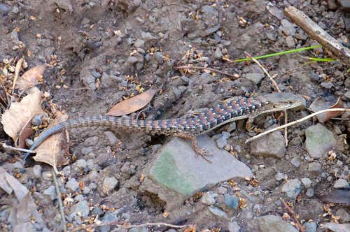 Southern Alligator Lizard (<i>Elgaria multicarinata</i>)