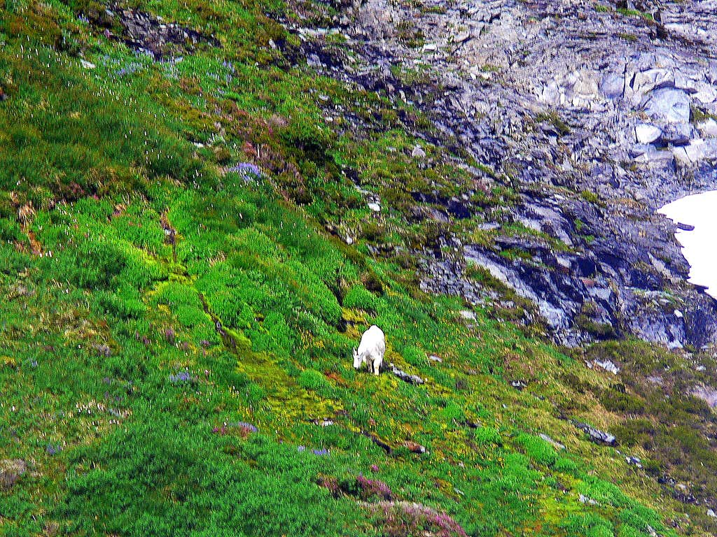 Goat Enjoying Flowers