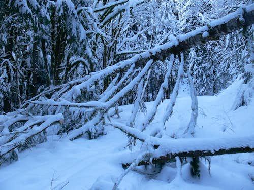 Fallen Over Tree