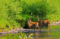 Mulies in the River