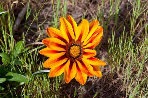 Treasure Flower (<i>Gazania rigens</i>)