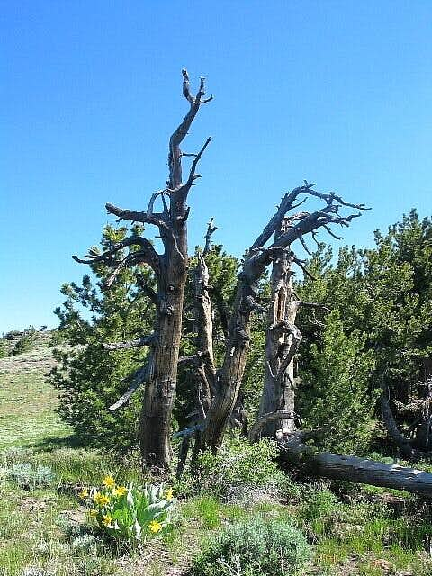 Stately trees that had