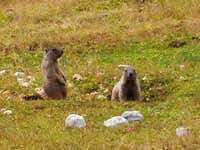 Marmots on the Fanes plateau