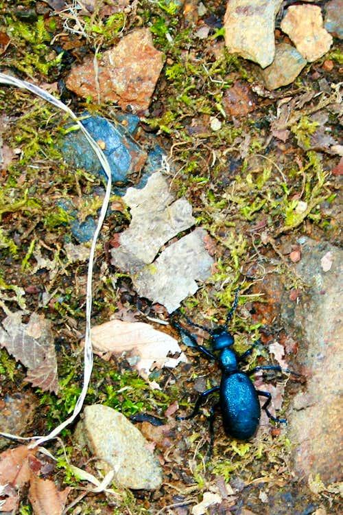 Snail-eating beetle