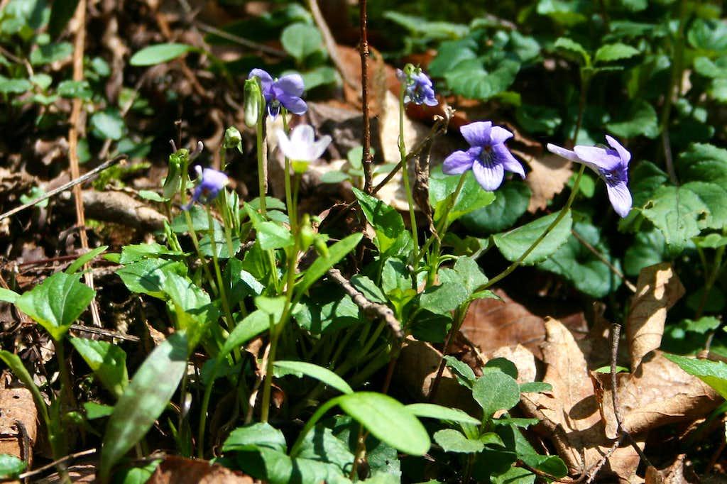 Longspurred violet