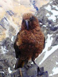 Kea on Avalanche Peak