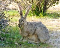 Big Jackrabbit