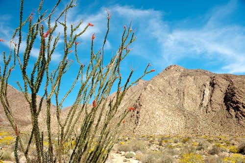 Ocotillo in the Anza Borrego