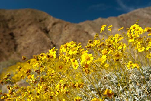 Wildflower Season in the Anza Borrego