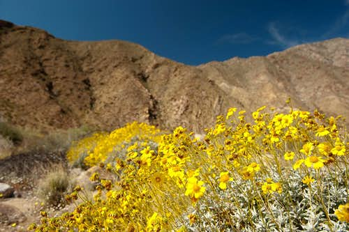 Wildflowers in the Anza Borrego