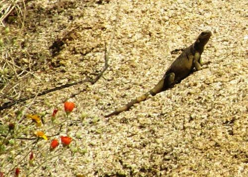 Chuckwalla and Mallow