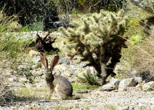 Jackrabbit and cholla