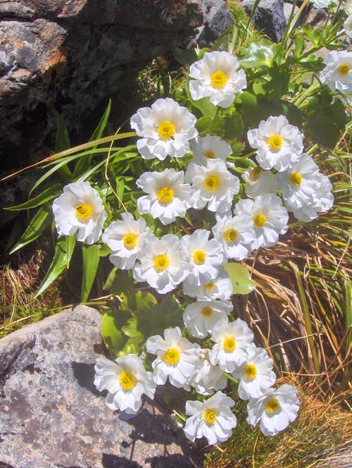 Alpine flowers near the Taipoiti River
