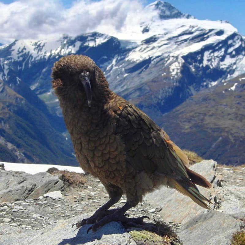 Kea against the backdrop of Mt Aspiring