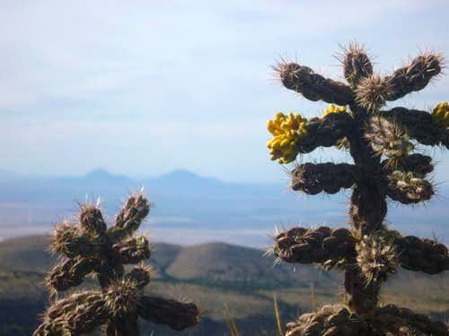 Cane Cholla, Lost Peak