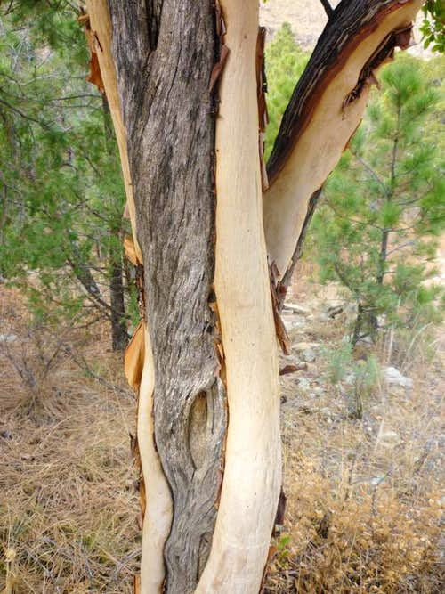 Twisted Madrone