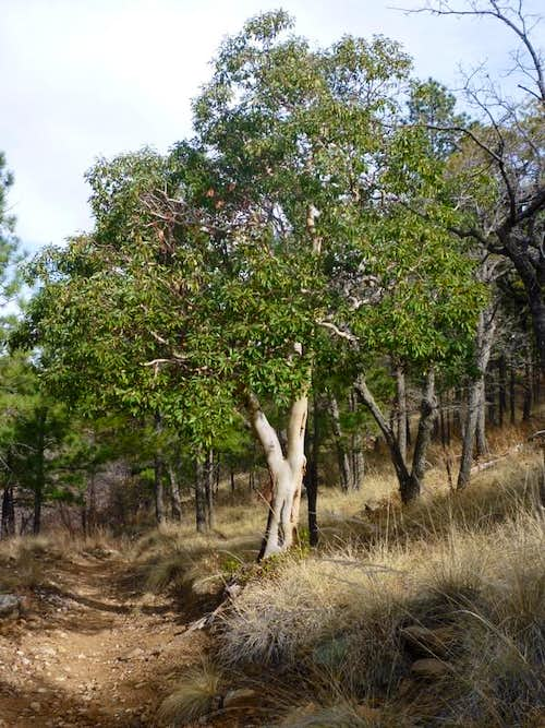 Texas Madrone along the Tejas Trail