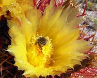 Bee in Barrel Cactus Flower