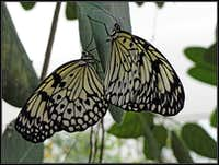 Butterflies of Bordano