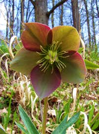 Purple hellebore - Helleborus purpurascens