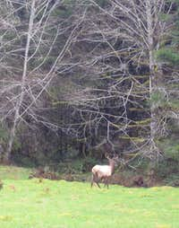 One of the many Elk