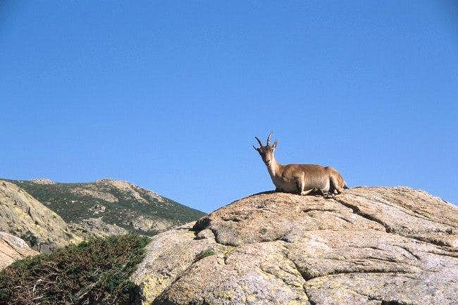 Female Gredos ibex