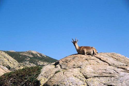 Female Gredos ibex