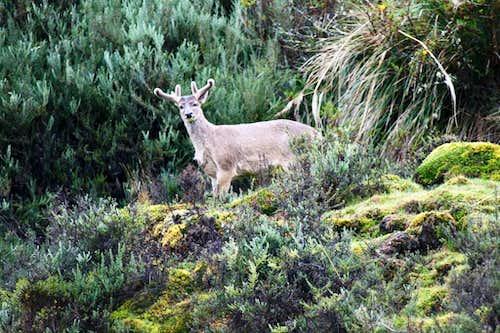 White Tailed Deer in Yanahurco