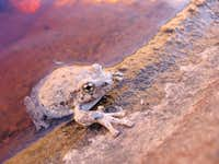 Desert Frog-- Many Pools, Zion