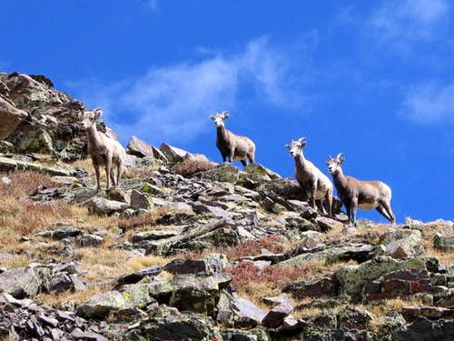 A group of bighorn sheep we...