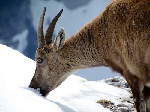 ibex on Cima di Terrarossa