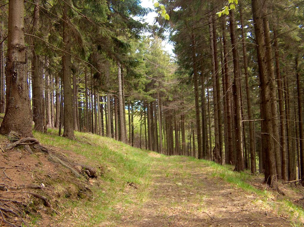 Conifers undergrowth forests