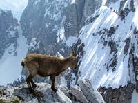 another ibex
